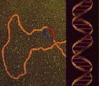 ADN en sintesis de proteínas