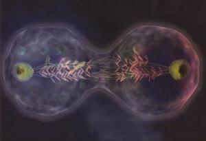 Proteína causante de cáncer corrige división celular